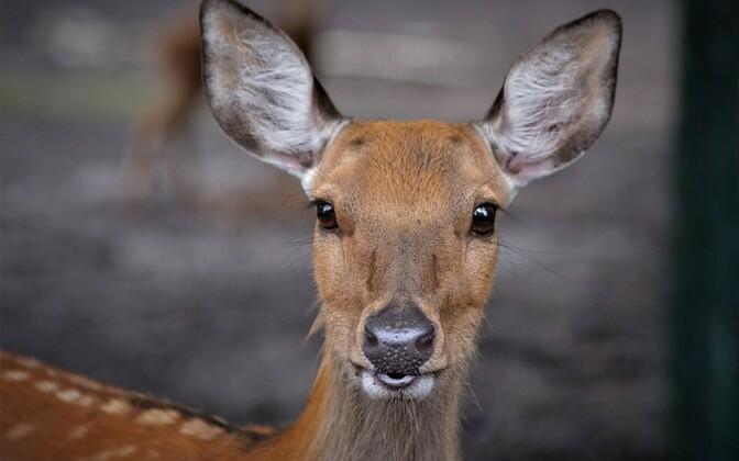 Около 75% случившихся в течение последнего года ДТП с участием диких животных связано с косулями. Иллюстративная фотография.