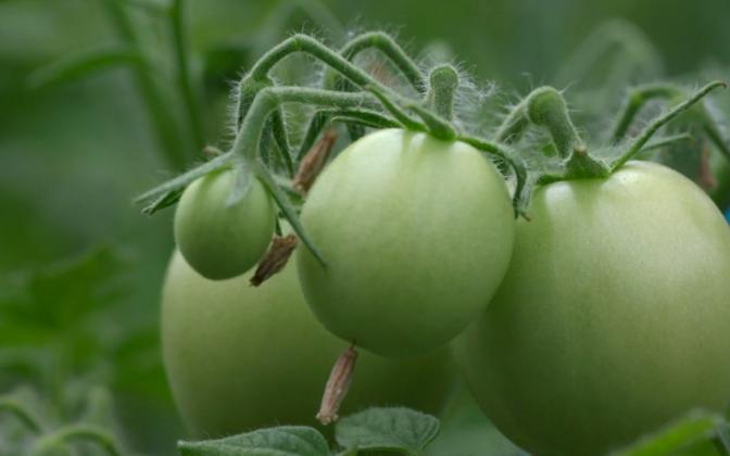 Sordiaretuse taga on saada inimesele kõige enam kasu toovaid taimi.