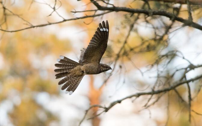 Козодой предпочитает ночной образ жизни, поэтому мало кому доводилось видеть эту птицу в живой природе.