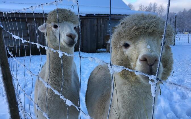 Türi vallas asuvas Wile farmis elavad alpakad