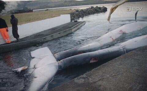 Islandil püütud vaalad.