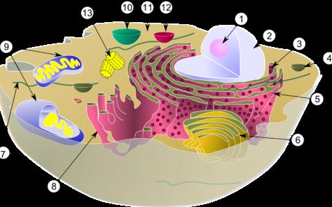 Loomarakk. 1. Tuumake 2. Rakutuum 3.Ribosoom 4. Vesiikul 5. Karedapinnaline tsütoplasmavõrgustik 6. Golgi kompleks 7. Tsütoskelett 8. Siledapinnaline tsütoplasmavõrgustik 9. Mitokonder 10. Vakuool 11. Tsütosool 12. Lüsosoom 13. Tsentriool