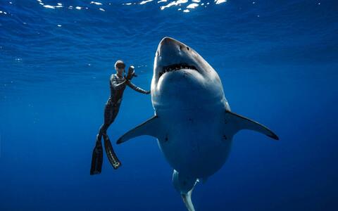 Белая акула и дайвер.