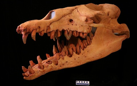 Basilosaurus isis'e kolju.
