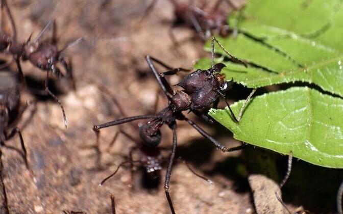 Aedniksipelgas hoidmas teerada korras ilma käsuliinita.