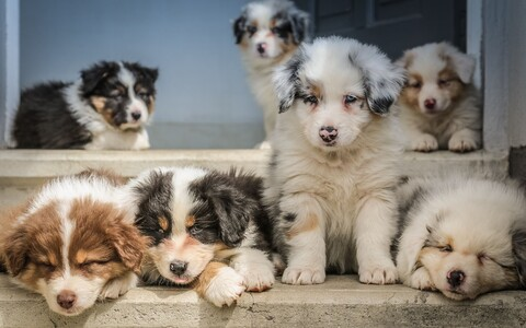 Suurtel koeratõugudel on näiteks parem lühiajaline mälu ja tugevam enesekontroll.