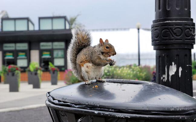Ülekaaluline orav toitumas prügist Kanadas, Montreali linnas.