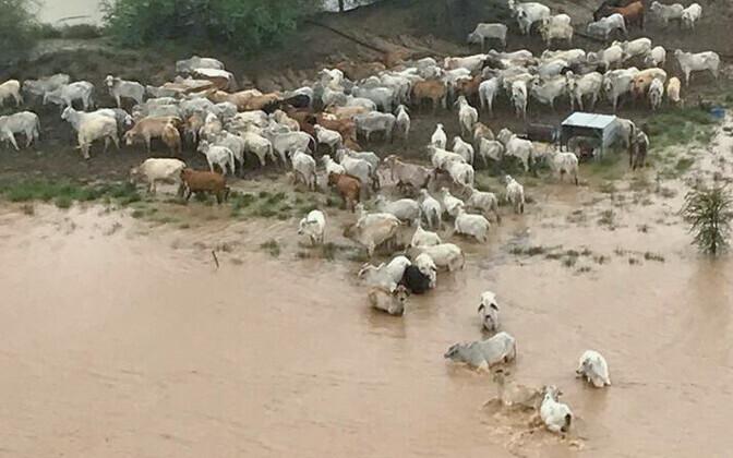Lehmad Queenslandis.