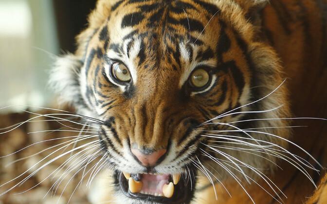 Тигрица Мелати.