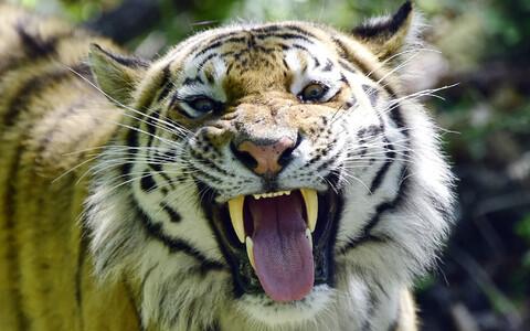 Amuuri tiiger.