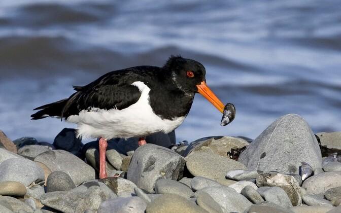 Meremolluskite kodade avamiseks toksivad meriskid neid vastu rannakive.