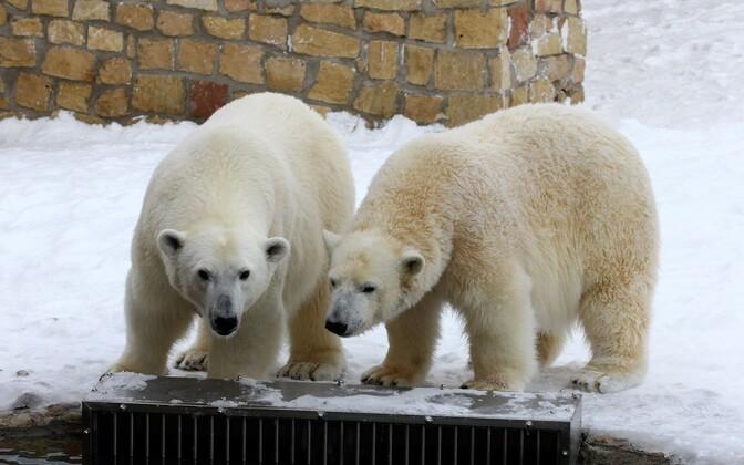 Tallinna loomaaia jääkarud Aron ja Friida