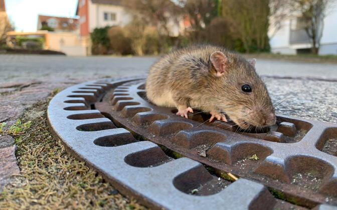 Спасатели помогают крысе выбраться из люка.