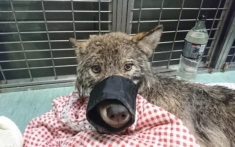 The wolf after its rescue in February.