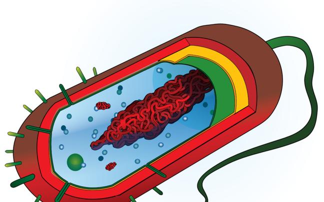 Bakterirakk.