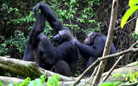 Inimese kokkupuude šimpansidega mõjutab nende käitumist, hoiatab uus uuring.