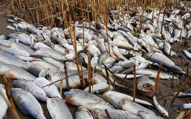 Surnud kalad Nasval.