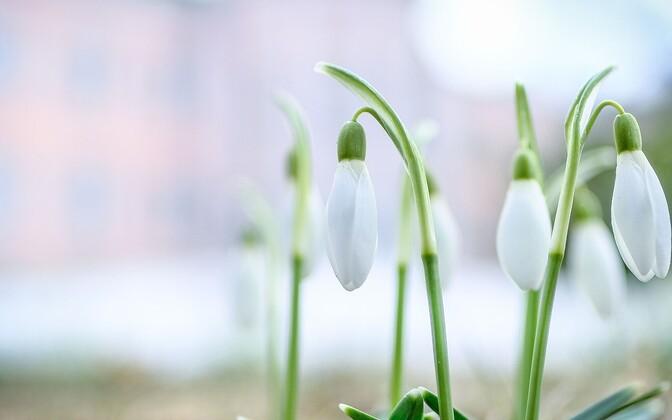 Lumikellukesed roosiaias