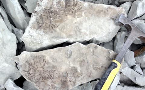 Kalana karjäärist lubjakiviplaatide vahelt leitud vetikafossiilid.