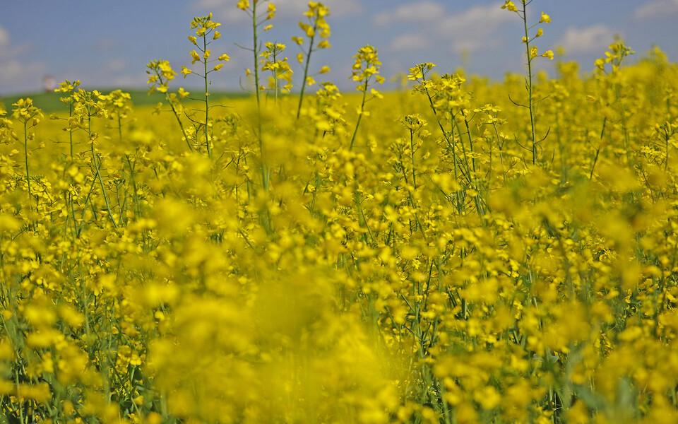Euroopas toodetakse biokütuseid praegu peamiselt rapsist.