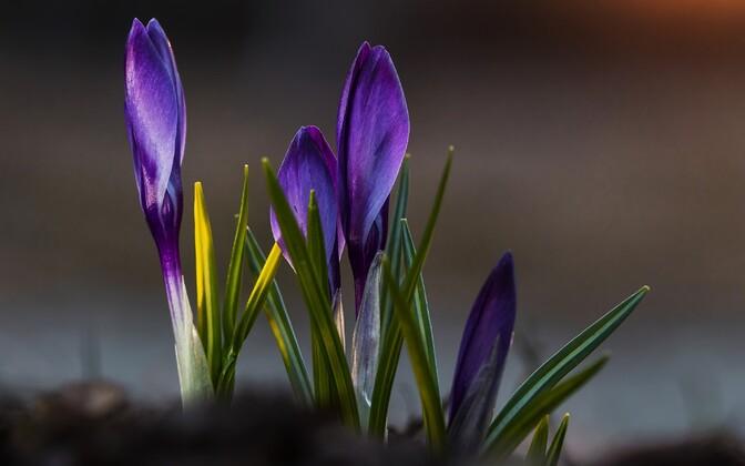Kevadised õitsejad, krookused