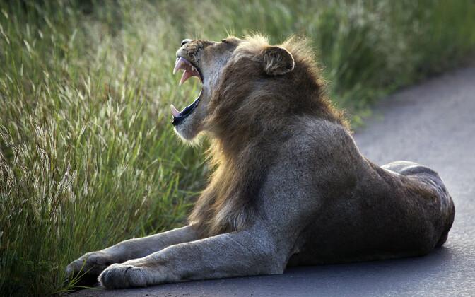 Lõvi Krügeri rahvuspargis, arhiivifoto.