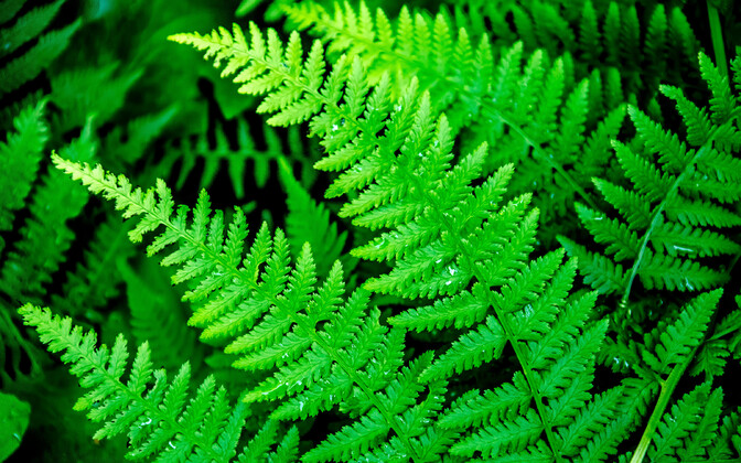 Ferns are common imagery in Estonian folklore.