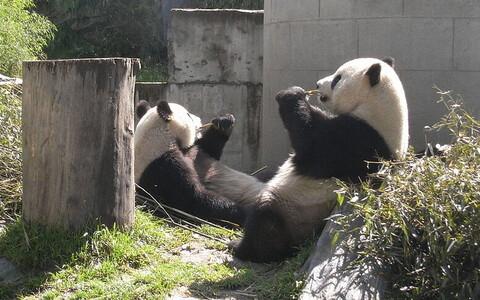 Юань-Юань (слева) отправился путешествовать.
