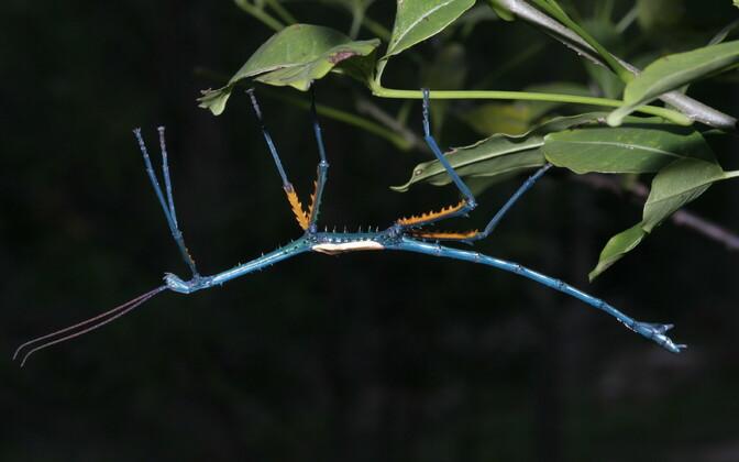 Achrioptera manga, üks värskelt kirjeldatud putukatest.