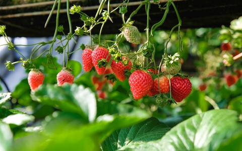 Maasikataimede lehed, viljad ja seemente arv aitab teadlastel hinnata linnaõhu kvaliteeti.