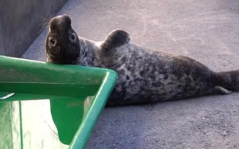 Тюлененок Вирго.