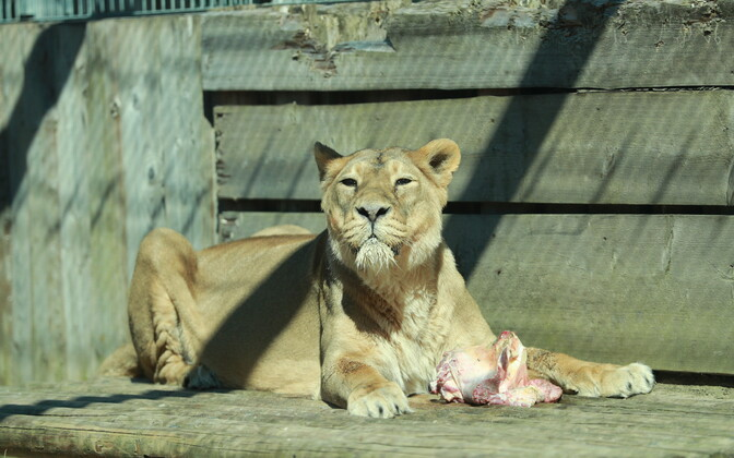 The asiatic lioness at Tallinn Zoo died on Sunday.