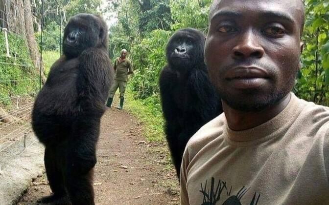 Gorillad selfi jaoks poseerimas.