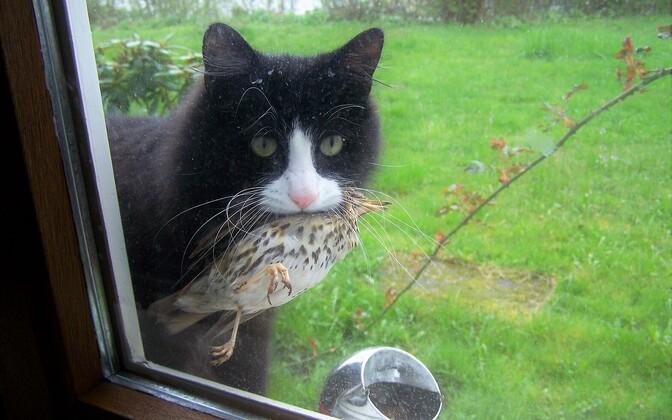 Osavate kiskjatena võivad kassid oluliselt kohalikku faunat mõjutada.