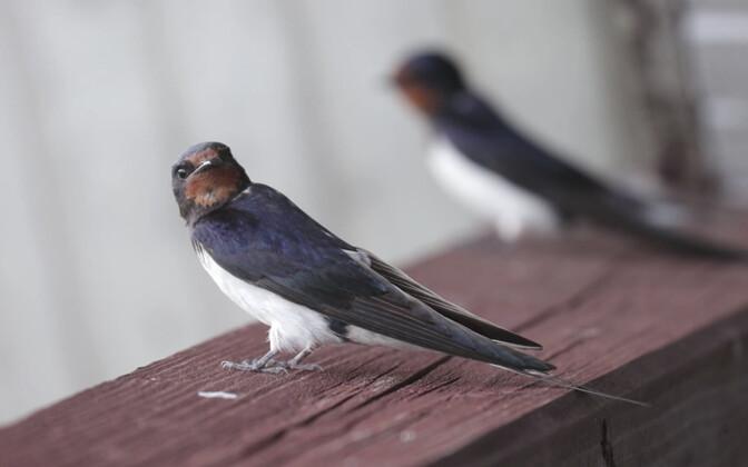 Вывод орнитолога: чем меньше насекомых, тем меньше и гнездящихся в округе ласточек.