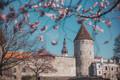 Цветение сакуры на Башенной площади у подножия Старого города.
