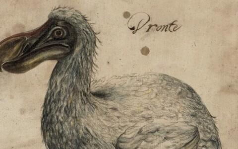 17. sajandist pärit kujutisel on näha Mauritiusel elanud dodot, kes kuulub nüüd väljasurnud liikide hulka.
