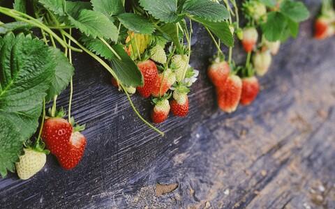 Kodanikuteaduse projektis osalevad inimesed peavad panema maasikataime kasvama oma koduakna taha, liikusega tänava poole.