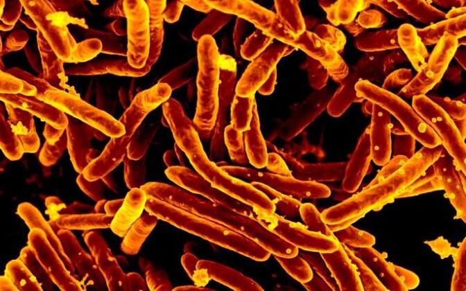 Teadlased suutsid saada jagu bakteri Mycobacterium smegmantis tekitatud nakkusest.