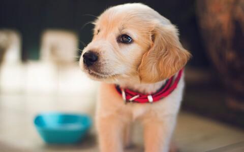 Kalduvus endale koera võtta on geneetiliselt pärilik.