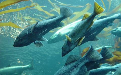 Лосось в Норвегии погиб из-за цветения фитопланктона.