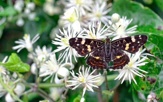 Nõgeseliblikas on üks Eesti levinuimaid liblikaliike.