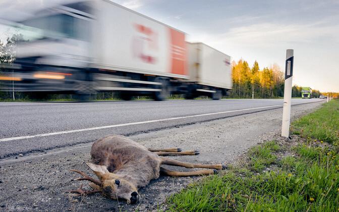 Число сбитых на дорогах диких животных растет из года в год.