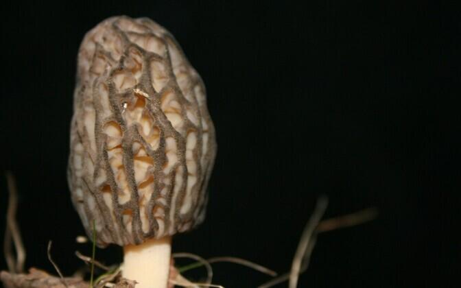 У весенних грибов могут быть несъедобные двойники, перед употреблением следует убедиться в том, что их можно есть.