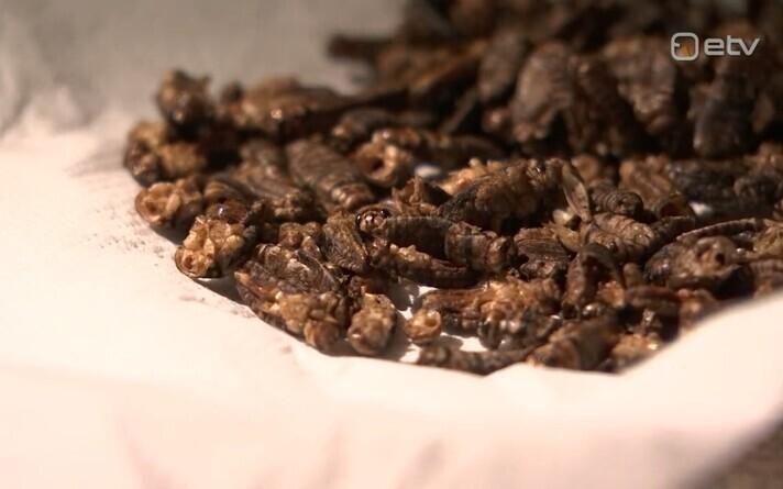 Eesti firma tahab toota aafriklastele ritsikapulbrit.