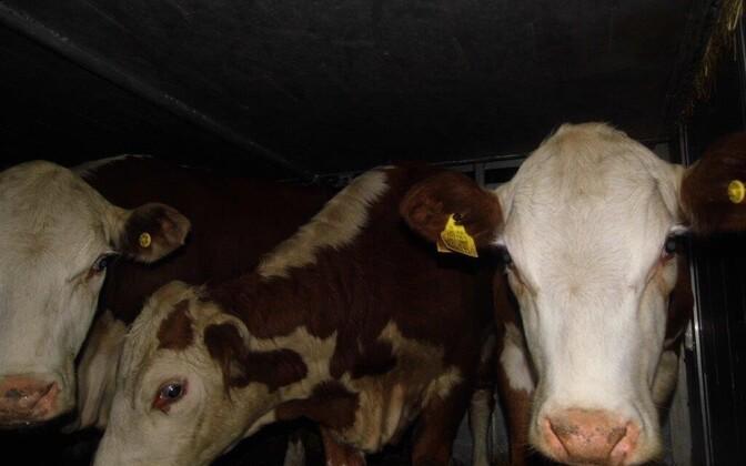 90 коров из Эстонии не прошли ветеринарный контроль в России.