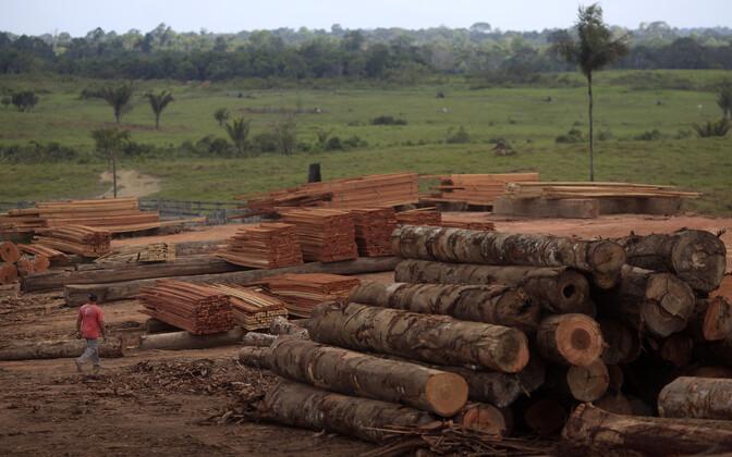 Brasiilias Amazoni vihmametsast raiutud puud.
