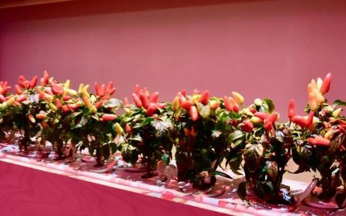 Tšillipiprad Click & Grow' taimelabori riiulitel.