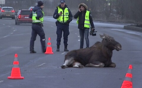 Elk have been known to even wander into densely populated areas such as Lasnamäe pictured here. Due to their sheer size, colliding with one in a car can be fatal for occupants as well as the animal.
