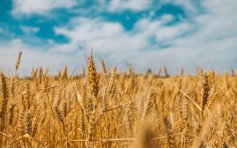 Kui harilikul nisul on vähem õhulõhesid, siis tarbib ta vett säästlikumalt, säilitades seejuures saagikuse.